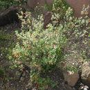 Image of <i>Poliomintha longiflora</i> A. Gray