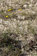 Image of slender greenthread