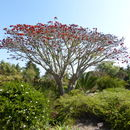 Image of Coast coral-tree