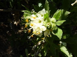 Image of <i>Cantua quercifolia</i> Juss.