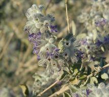Image of desert lavender