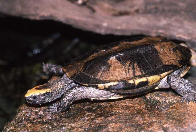 Image of Twist-neck Turtle