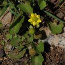 Image of <i>Ranunculus cymbalaria</i> var. <i>saximontanus</i>