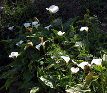 Image of Arum lily