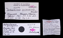 Image of <i>Heterotermes primaevus</i> Snyder 1960