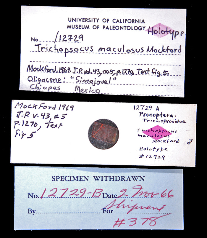 Image of <i>Trichopsocus maculosus</i> Mockford 1969