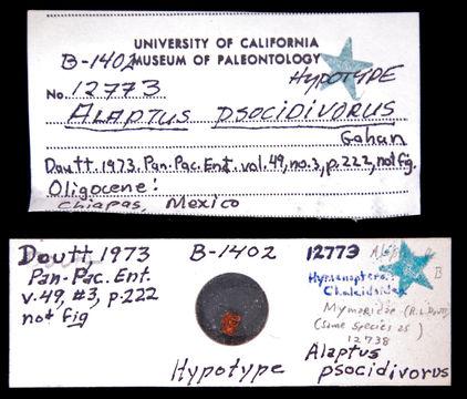 Image of <i>Alaptus psocidivorus</i> Gahan 1927