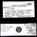 Image of <i>Leptosalda chiapensis</i> Cobben 1971