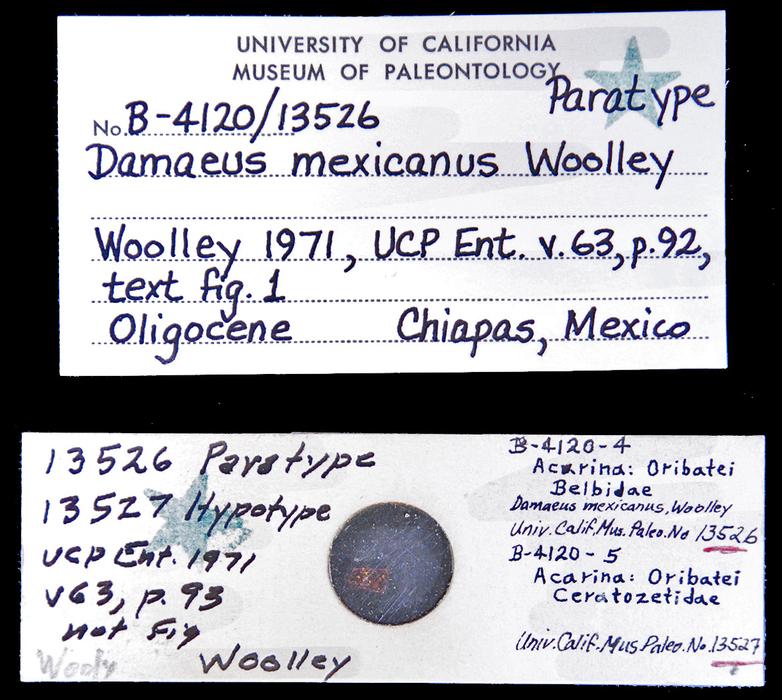 Image of <i>Damaeus mexicanus</i> Woolley 1971