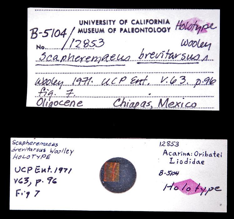 Image of <i>Scapheremaeus brevitarsus</i> Woolley 1971