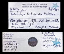 Image of <i>Entomobrya trifasciata</i> Handschin 1927