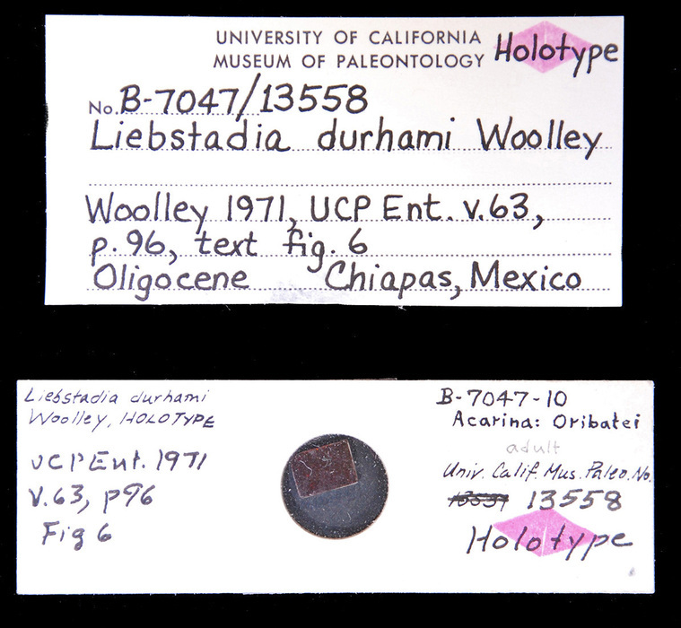 Image of <i>Liebstadia durhami</i> Woolley 1971