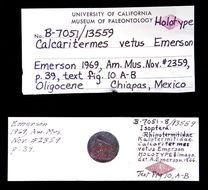 Image of <i>Calcaritermes vetus</i> Emerson 1969