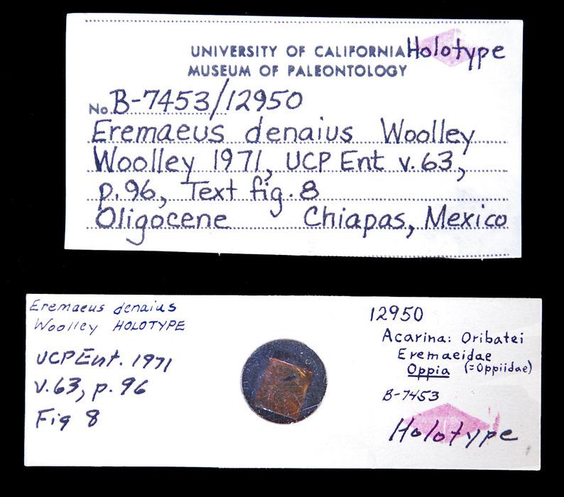 Image of <i>Eremaeus denaius</i> Woolley 1971