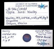 Image of <i>Oppia hurdi</i> Woolley 1971