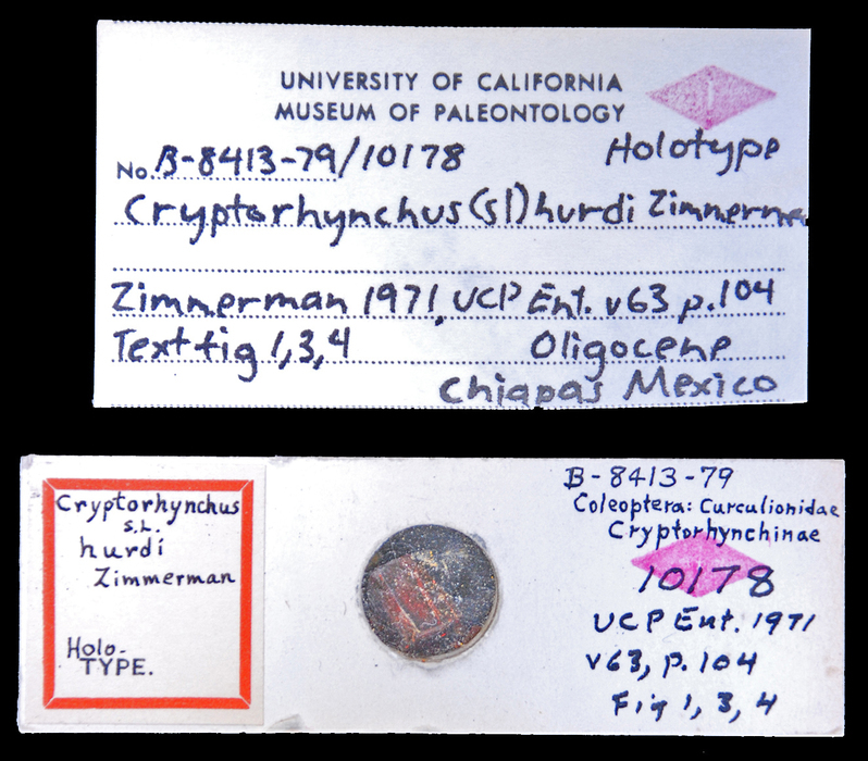 Image of <i>Cryptorhynchus hurdi</i> Zimmerman 1972