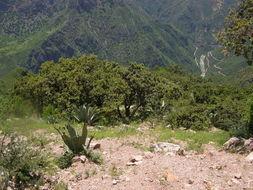 Image of Chihuahuan oak