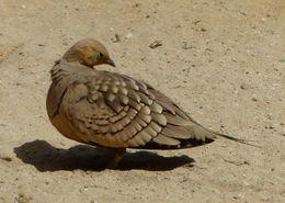 Image of Chestnut-bellied Sandgrouse