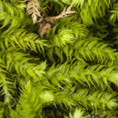 Image of Whipple's claopodium moss