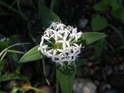 Image of <i>Crusea longiflora</i> (Roem. & Schult.) W. R. Anderson
