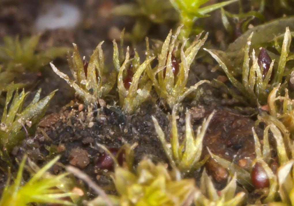 Image of serrate ephemerum moss
