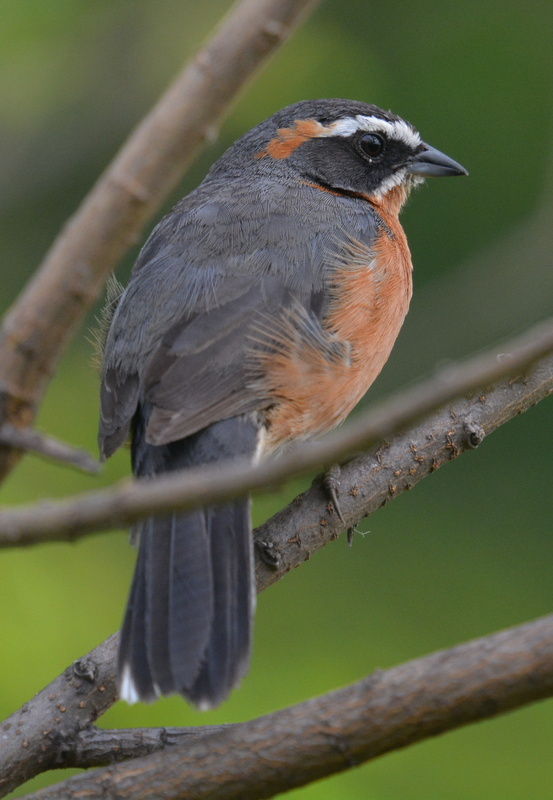 Image of Black-and-rufous Warbling Finch