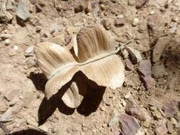 Image of <i>Piscidia mollis</i> Rose