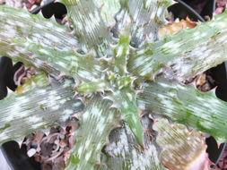 Image of <i>Aloe vogtsii</i> Reynolds