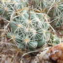 Image of Chihuahuan Foxtail Cactus