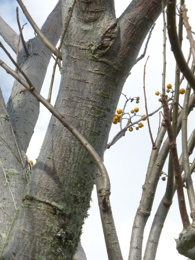 Image of <i>Cochlospermum vitifolium</i> (Willd.) Spreng.