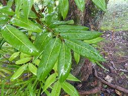 Image of longan