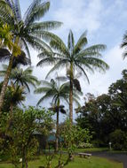 Image of <i>Clinostigma samoense</i> H. Wendl.