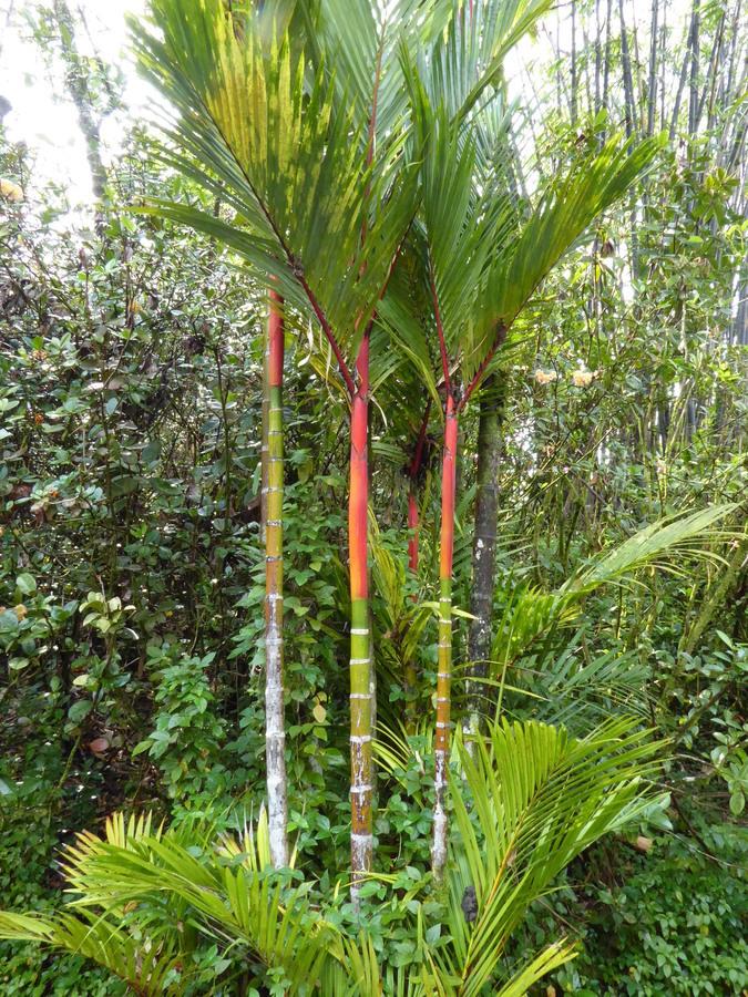 Image of <i>Cyrtostachys renda</i> Blume