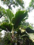 Image of Thief Palm