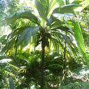 Image of <i>Pelagodoxa henryana</i> Becc.