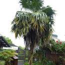 Image of <i>Thrinax parviflora</i> Sw.
