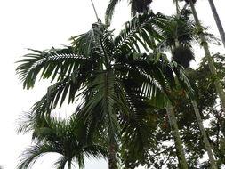 Image of <i>Chambeyronia macrocarpa</i> (Brongn.) Vieill. ex Becc.
