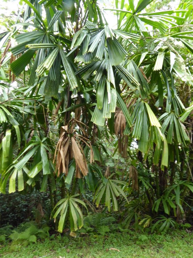 Image of <i>Licuala spinosa</i> Wurmb