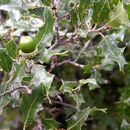 Image of Pungent Oak