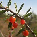 Image of Berlandier's wolfberry