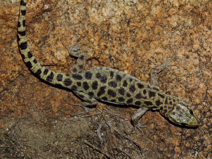 Image of Granite night lizard