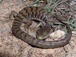 Image of Southern Alligator Lizard