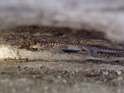 Image of Sandstone Night Lizard