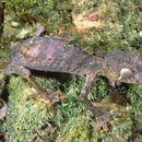 Image of Satanic Leaf-tailed Gecko