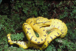 Image of Green tree python