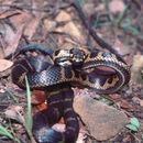 Image of Stephen's Banded Snake