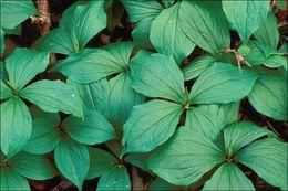 Image of herb Paris