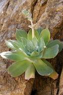 Image of chalk dudleya