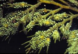 Image of <i>Cystoseira osmundacea</i>