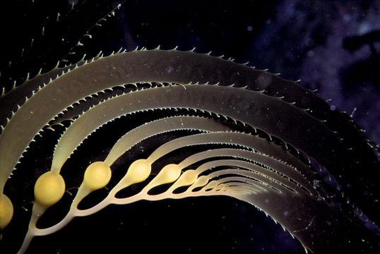 Image of Giant kelp